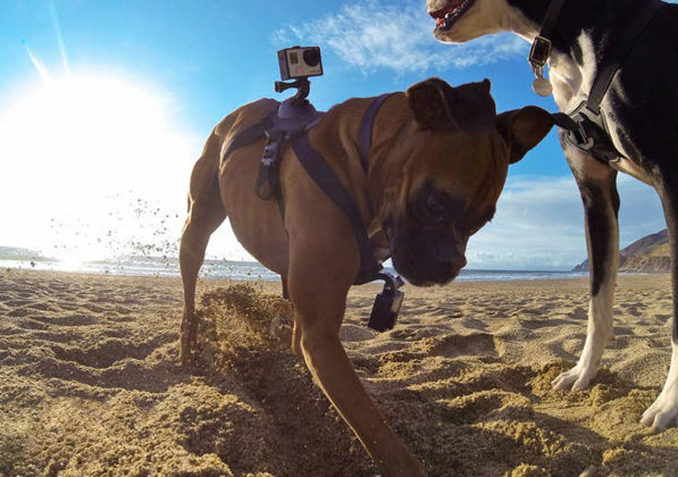 GoPro Fetch harness - strap a high-def camera onto your dog for a ...