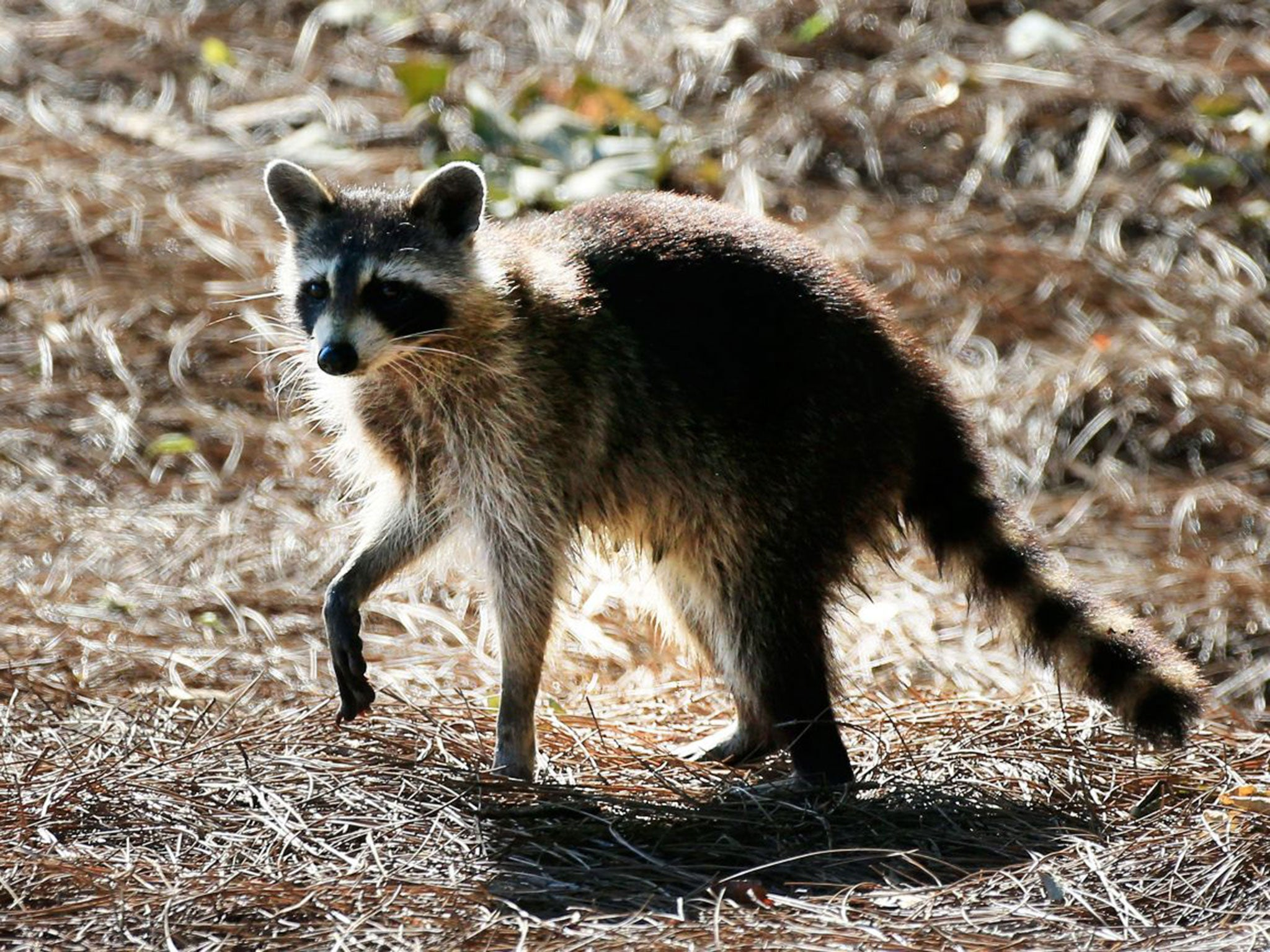 woman bitten by rabid racoon drowns animal with bare hands the
