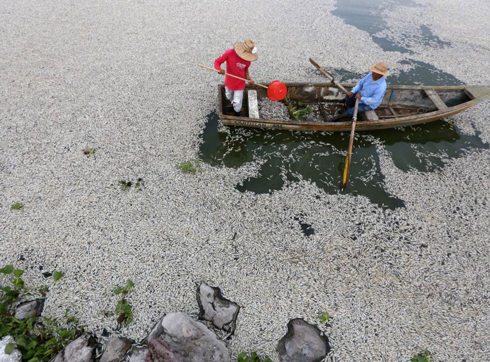 Hundreds of thousands of dead fish appeared in Cajititlán Lake in the west of Mexico over the weekend