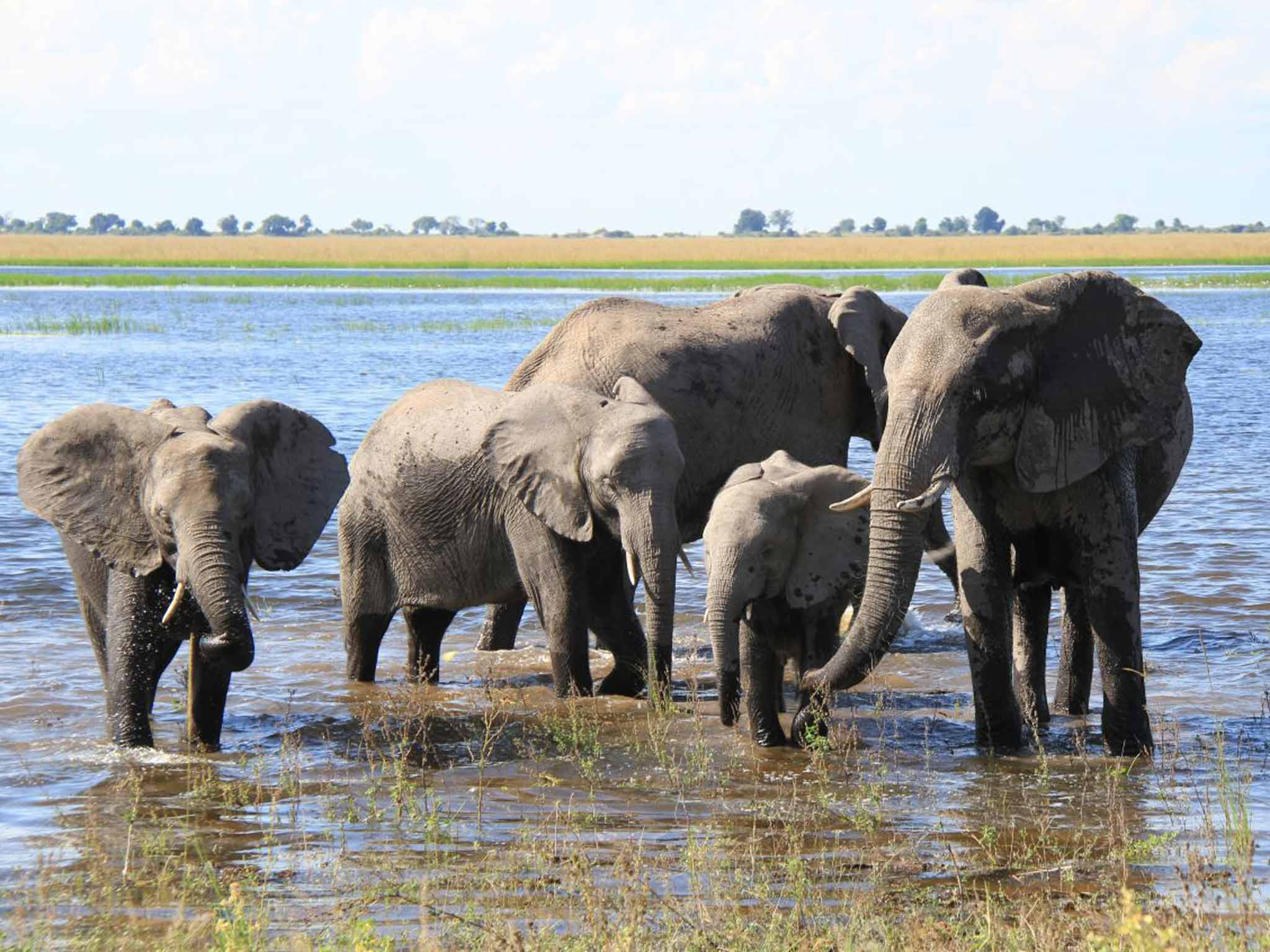 How two elephants measured their trunks 11