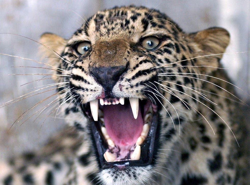 An injured common leopard roars as Pakistani employees of the Wildlife Department (unseen) attempt to give it an injection in Peshawar, 28 June 2006.