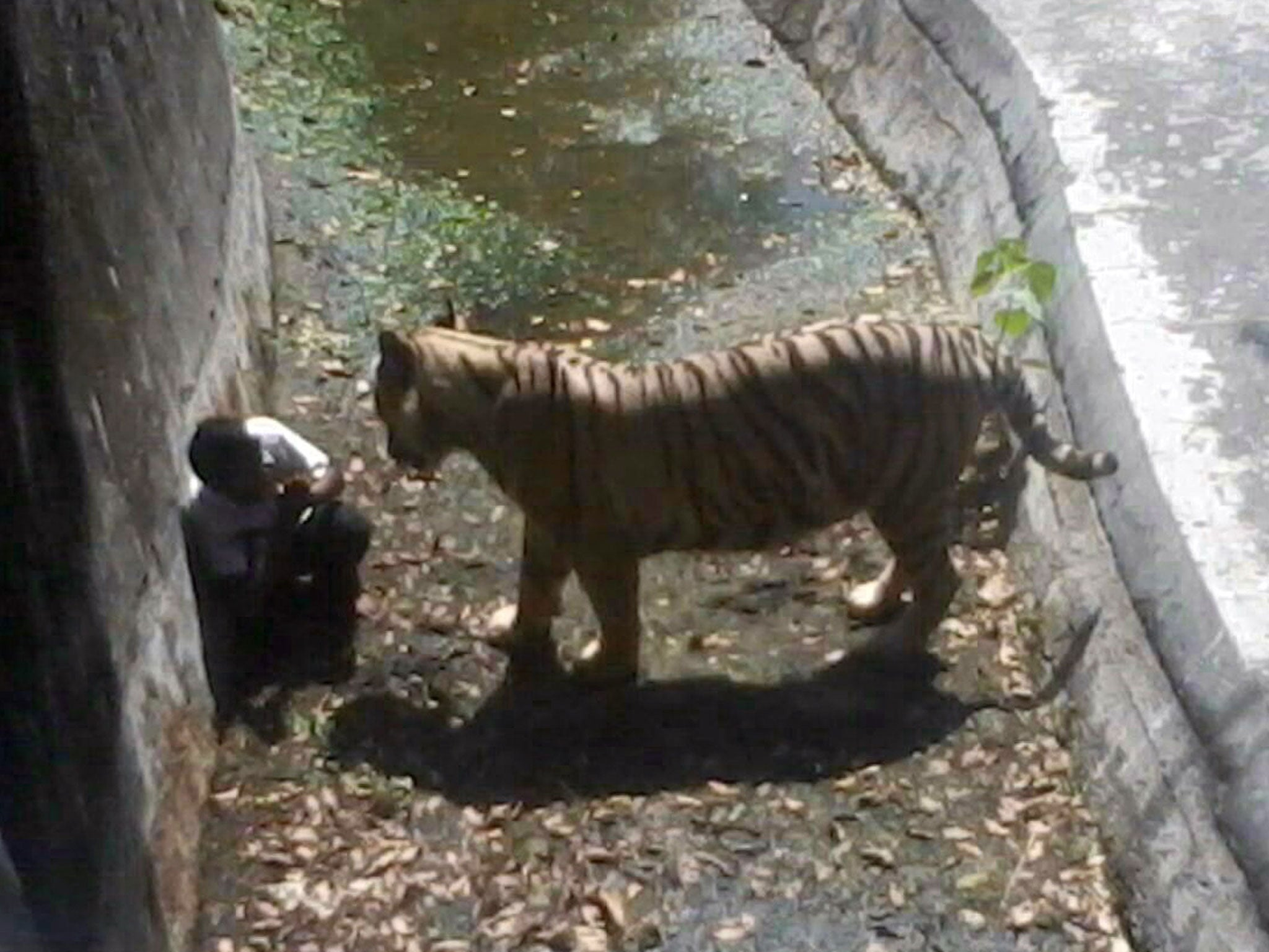 delhi zoo to install human cages in famous white tiger enclosure
