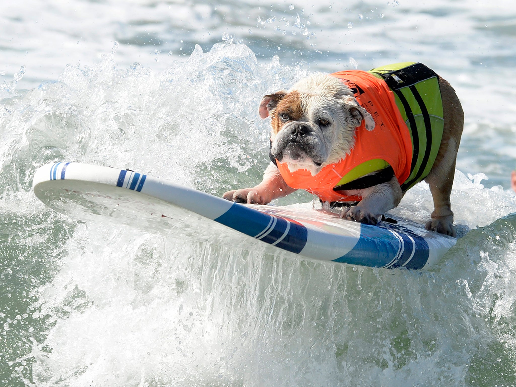 These dogs are surfing in California    and they look as if