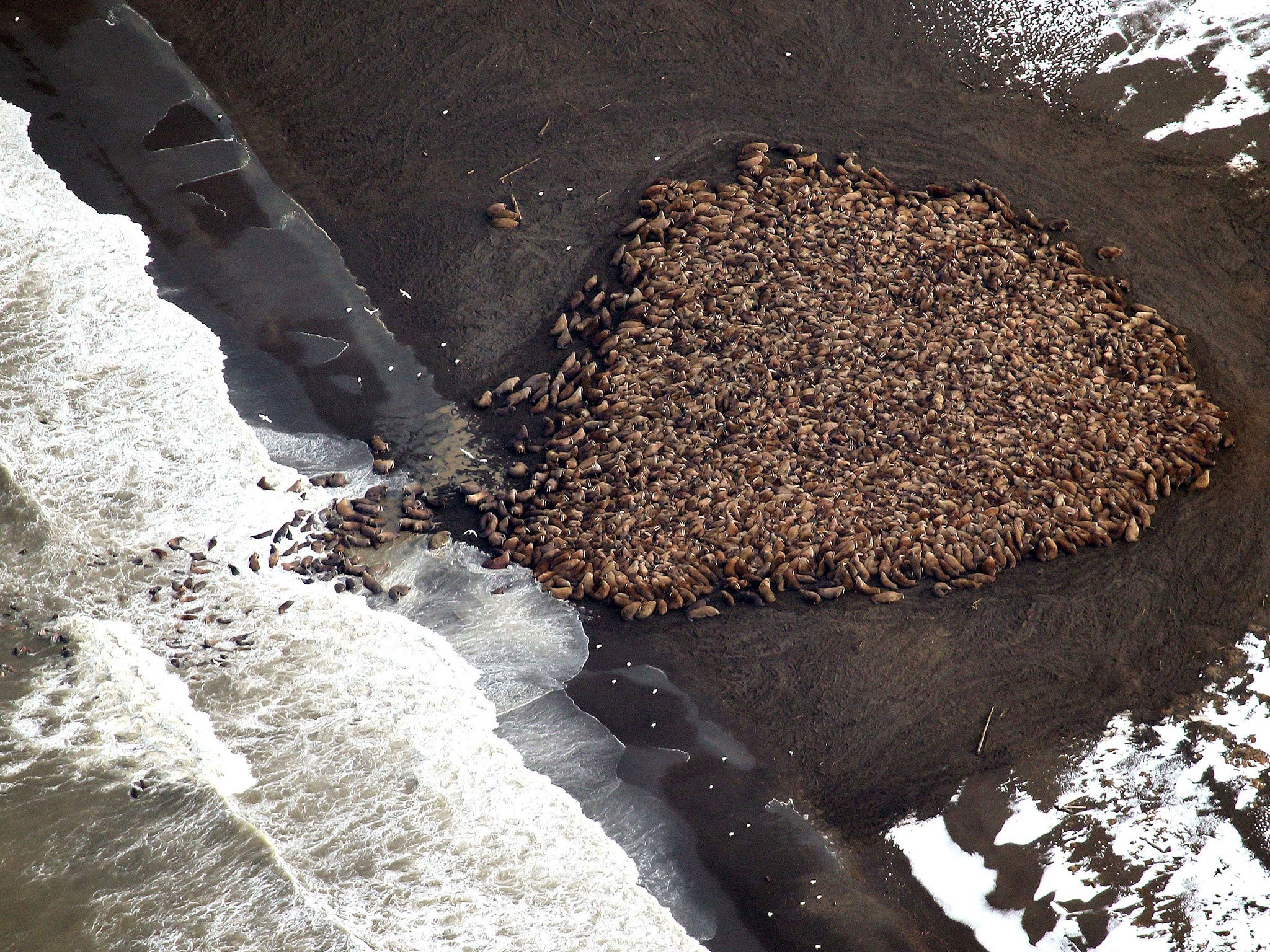 35,000 walrus gather on north-west Alaska beach 'for a rest' | The ...
