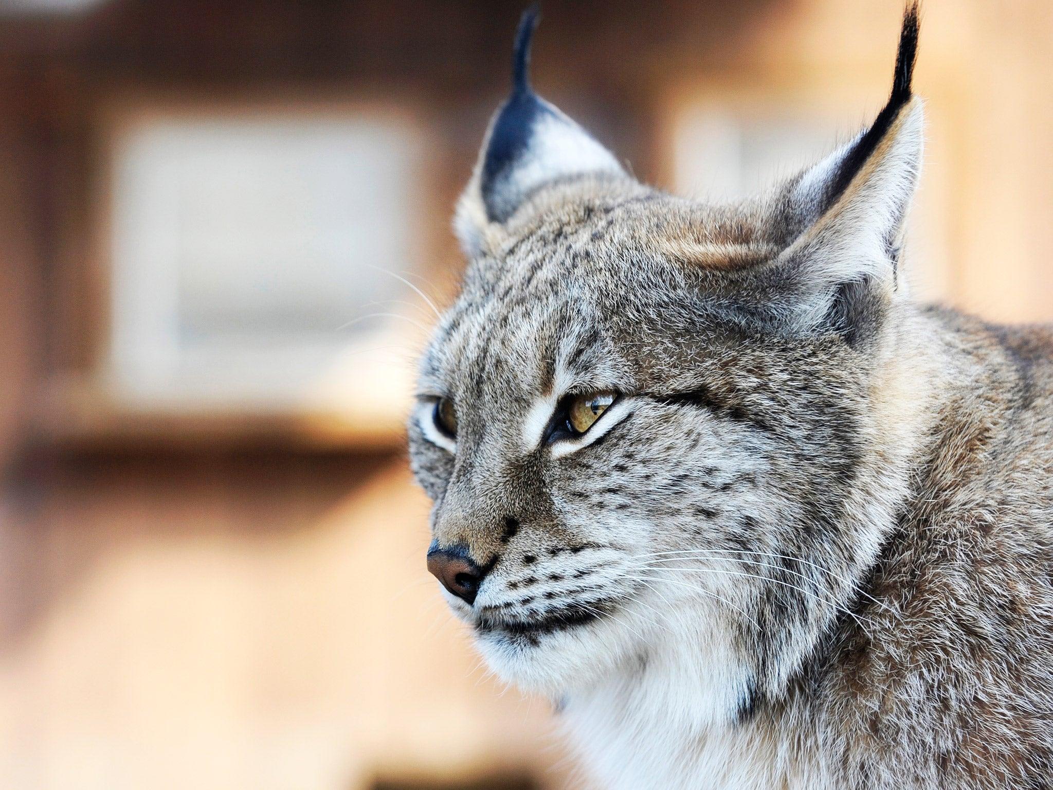 Lynx Symbolism; A message - Spirit Animal Totems