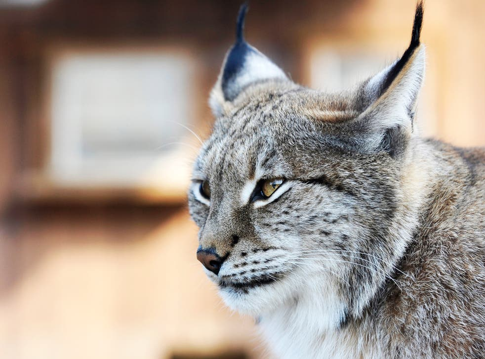 A Eurasian lynx at a zoological park the eastern French city of Amneville