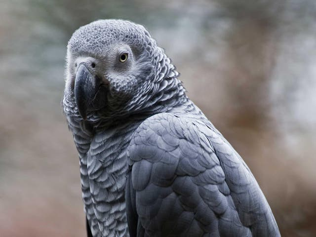 A grey African parrot, pictured here in Mexico
