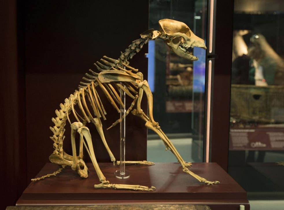 Hatch's skeleton