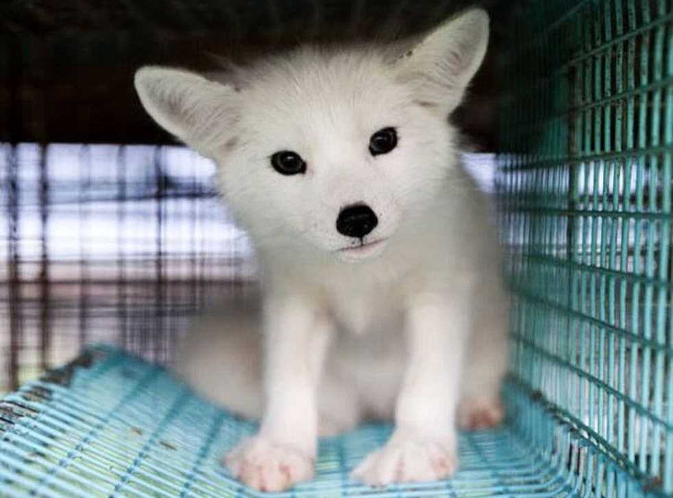 Kimi the fox cub