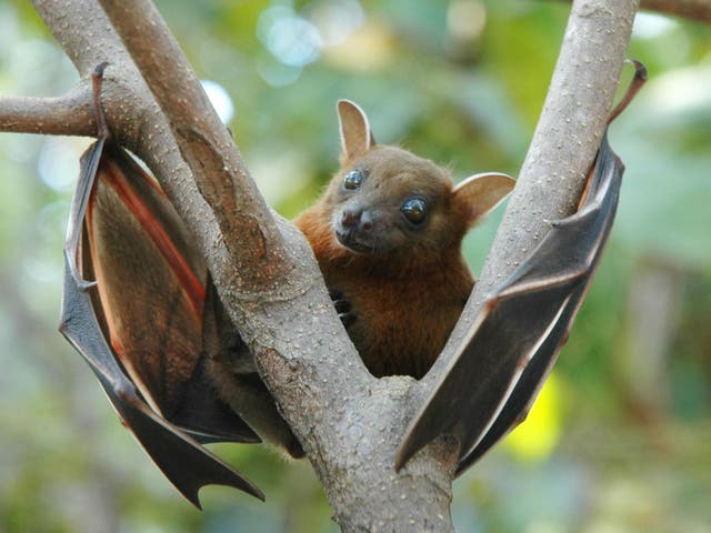 The fruit bat is widely believed to be the source of Ebola