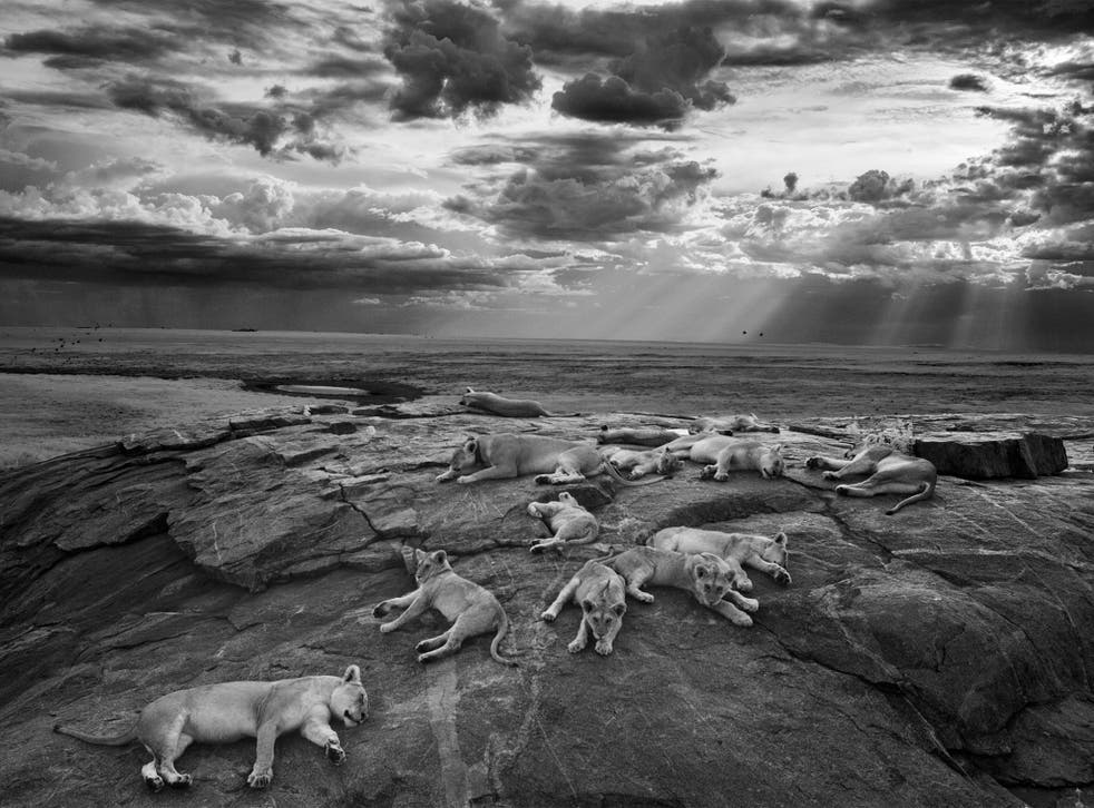 The last great picture - Winner 'Black and White' and overall 'Wildlife Photographer of the Year'