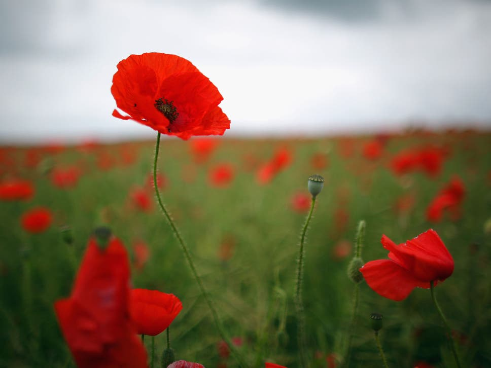 Poppy Appeal 2014 The Two Best Reasons To Buy A Poppy The Independent