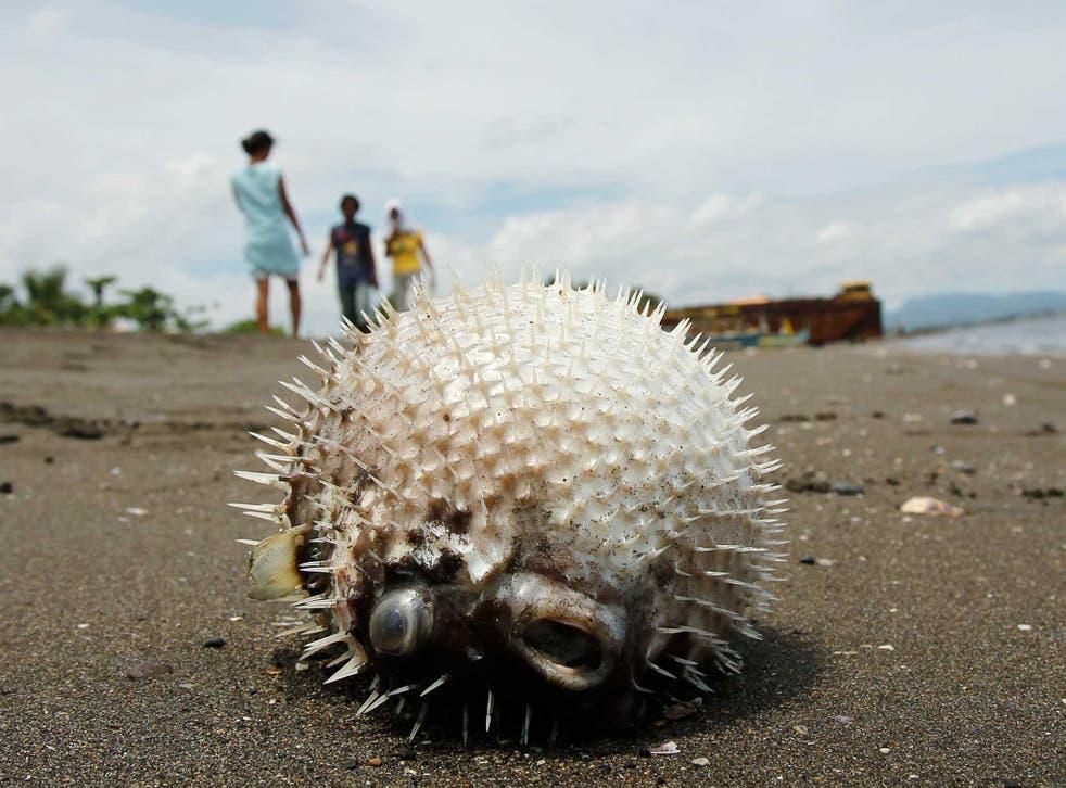 A dead puffer fish lies on the seashore of Naic, Cavite, southwest of Manila