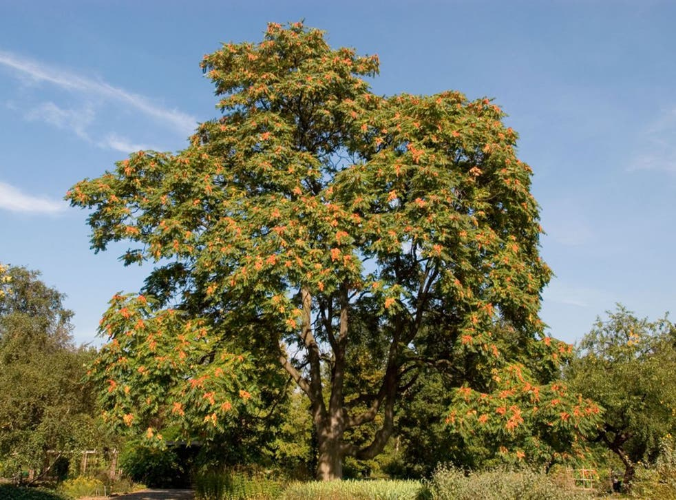 """Ailanthus altissima has been dubbed the """"tree of heaven"""" for its eagerness to reach up to the sky"""