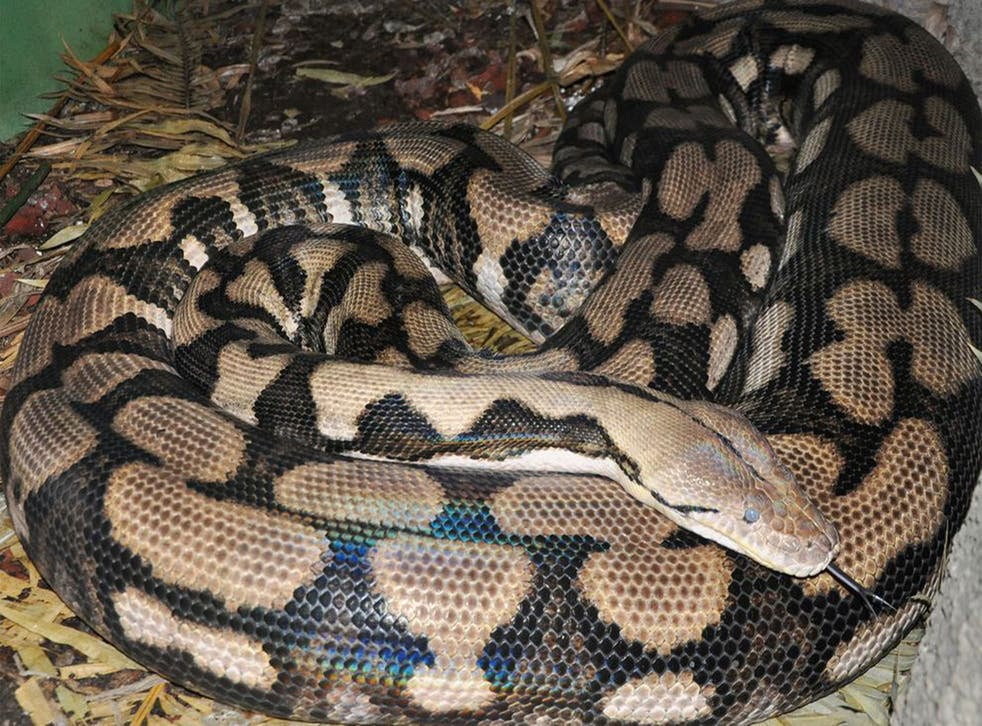Reticulated python Thelma gave birth without contact with a male