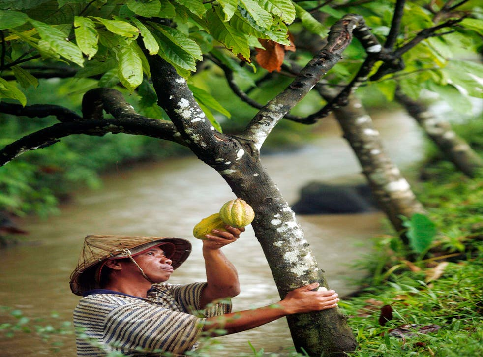 Cocoa beans, harvested in Indonesia, contain flavanols which the scientists used in their memory research
