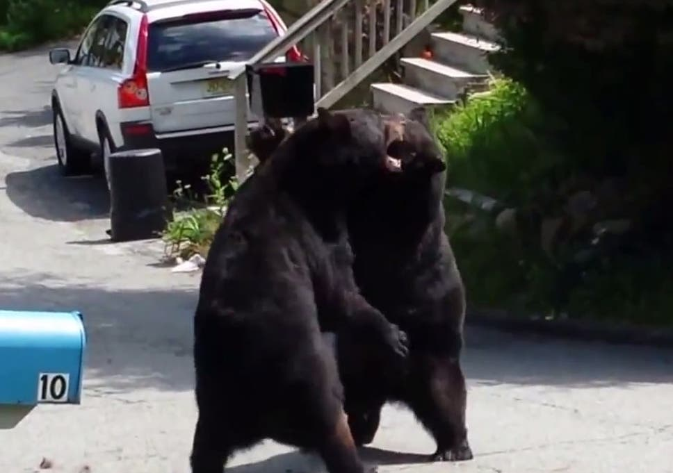 5dd7cc95ccf Two black bears engage in a vicious fight in the middle of a suburban street