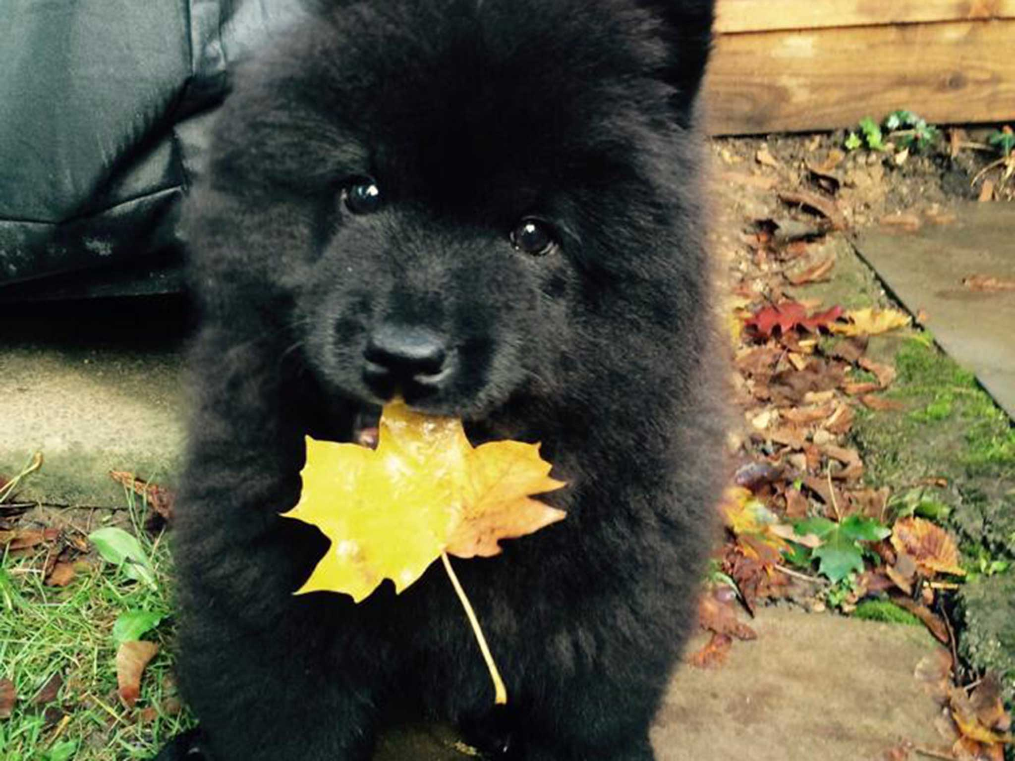 Heartbroken Chow Chow puppy owner blames animal's online ...