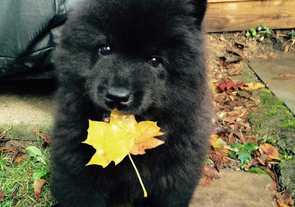 Heartbroken Chow Chow Puppy Owner Blames Animal S Online Fame For