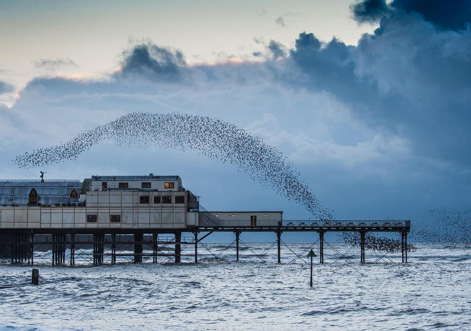 Image result for starling murmuration aberystwyth big waves
