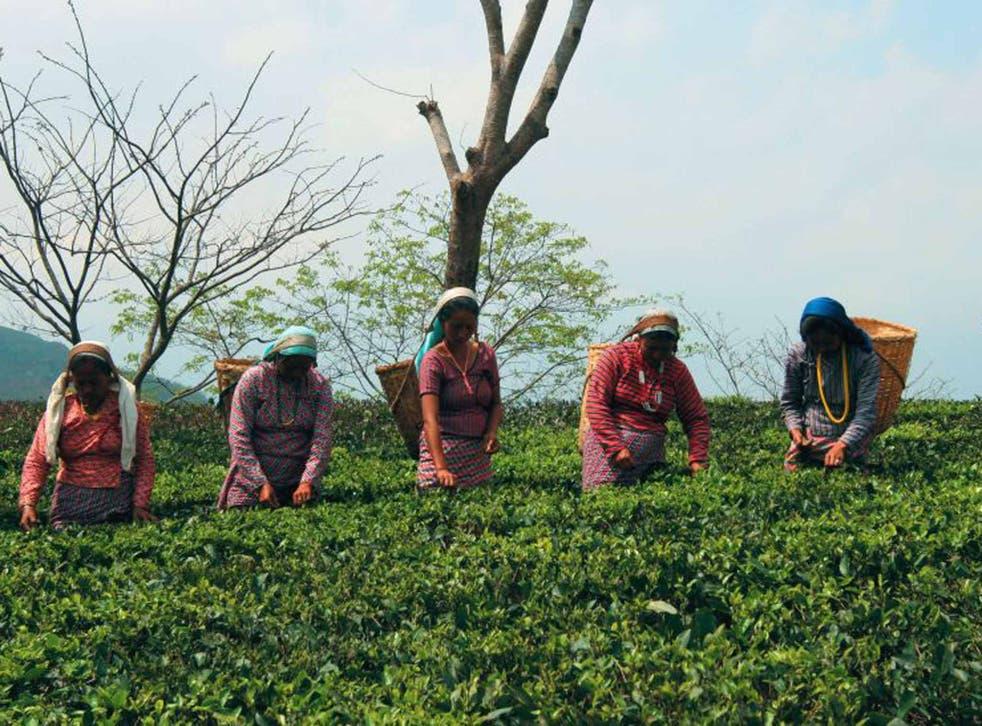 The estate's tea pluckers