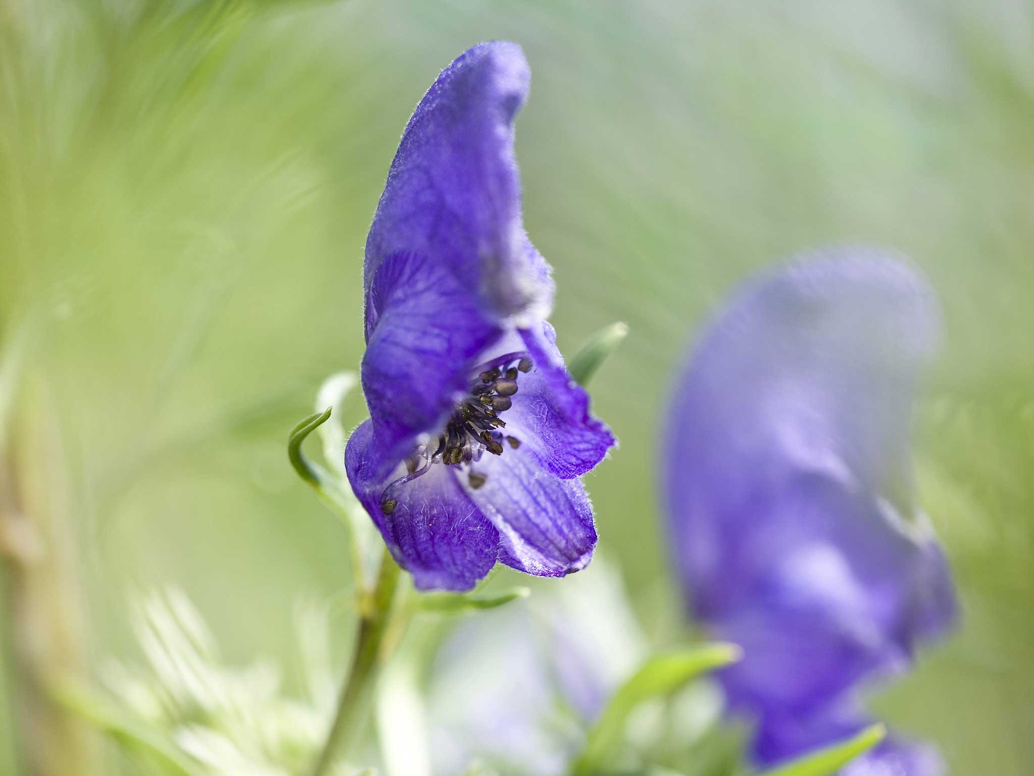Gardener Dies After Brushing Against Deadly Wolfsbane Flower On