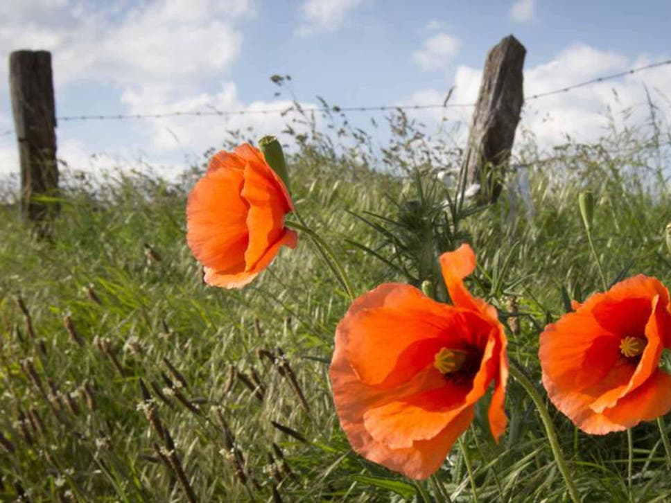 The History Of The Remembrance Poppy The Independent