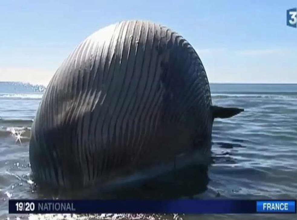 Authorities in France are investigating how to dispose of a beached whale