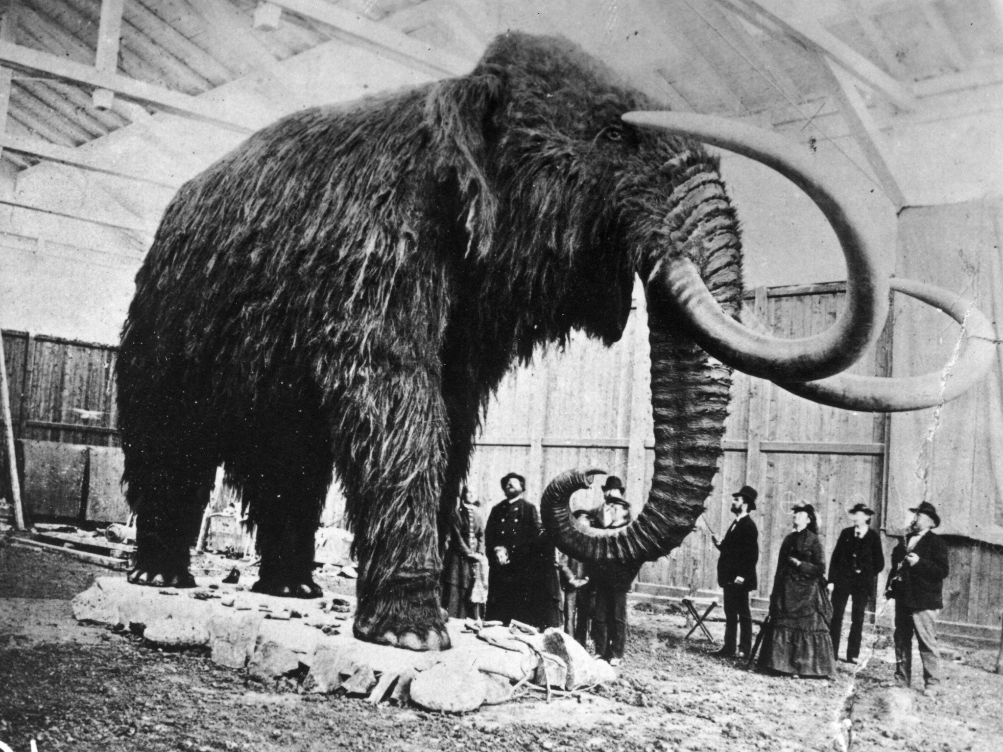 Woolly mammoth cloning war scientists are divided over the ethics of attempting to revive extinct mammal the independent