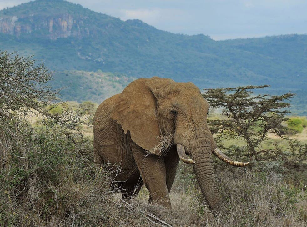 Last year's 'Independent' Christmas Appeal raised £500,000 to fight elephant poaching