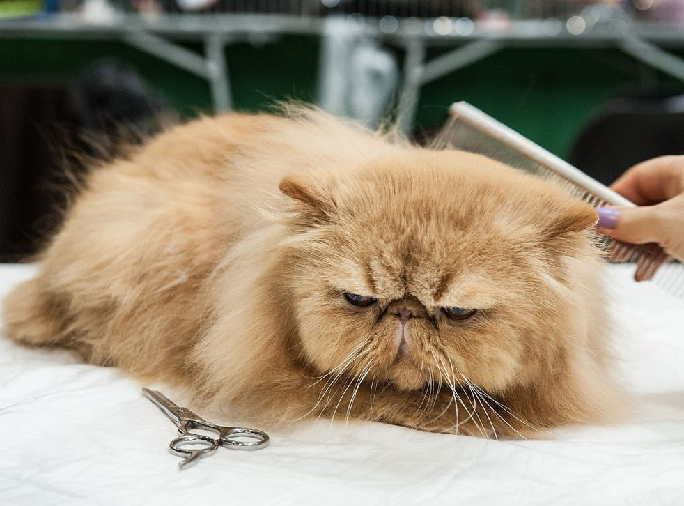 A cat being groomed by its owner before the judges arrive at a cat show in Italy earlier this month