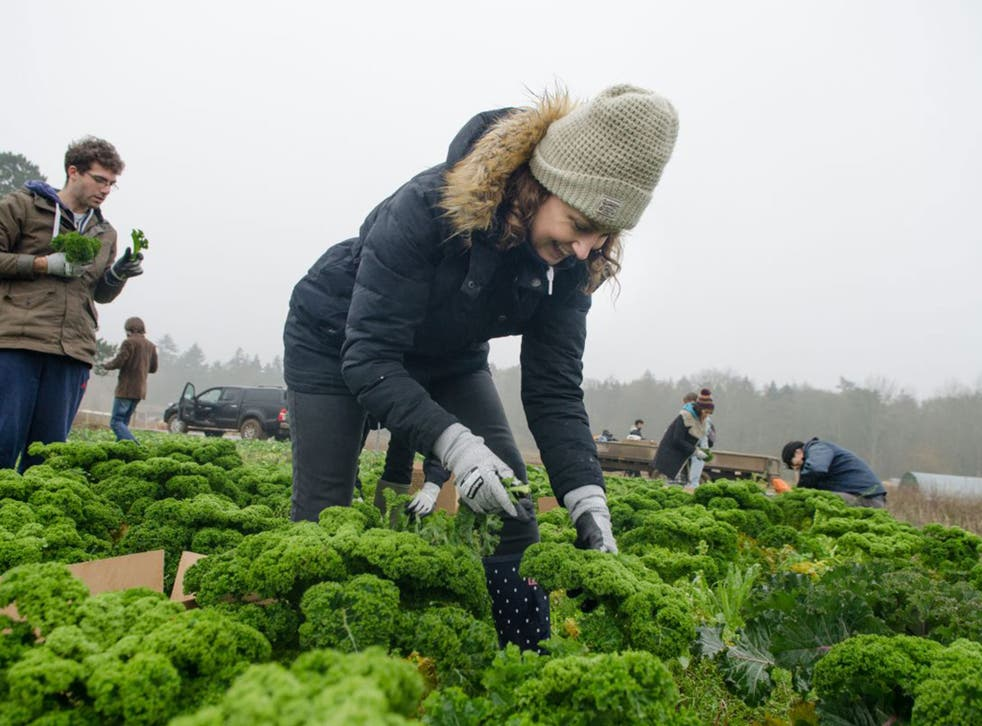 The writer joins volunteer gleaners on a farm in Norfolk, managed by Joe Rolfe