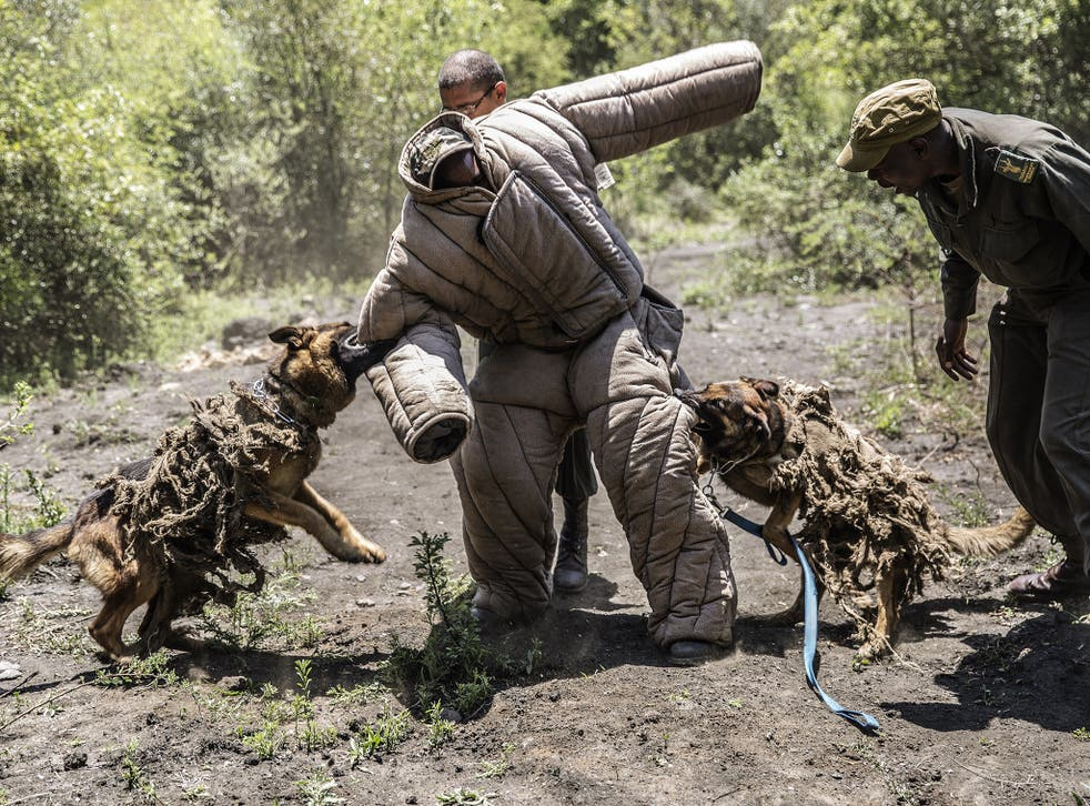 Ranger trainees and trainee dogs simulate an ambush against rhino poachers at the Paramount Group Anti-Poaching training and K9 (canine) academy on November 26, 2014 in Magaliesberg, South Africa.