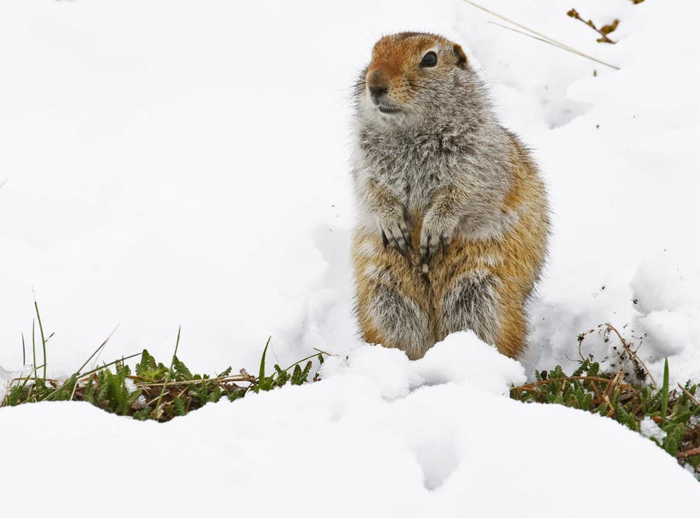Male Arctic ground squirrels may loaf around in the sun, while the females rush around to get food