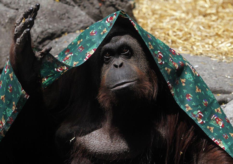 [Image: orangutan.jpg?w968h681]