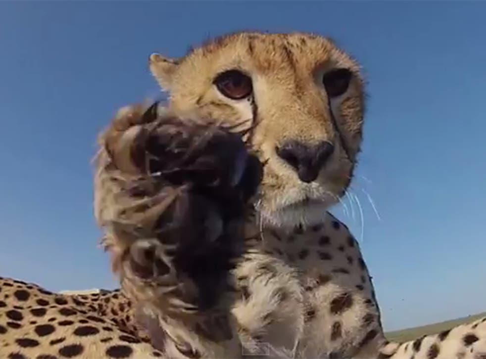 The male cheetah cub spots the GoPro camera