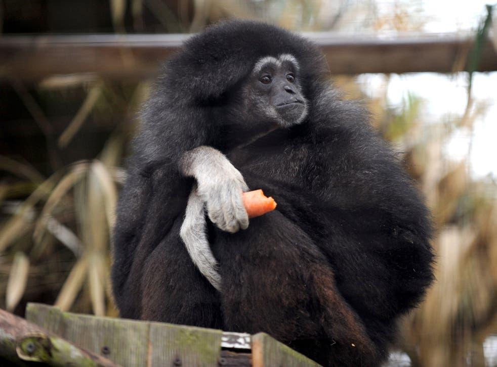 A white-handed gibbon