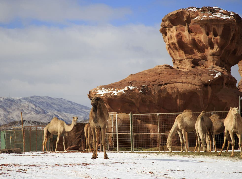 Camels stand in the snow in the Aleghan Heights, located some 1500 km northwest of the Saudi capital Riyadh in the Tabuk region, on January 10, 2015