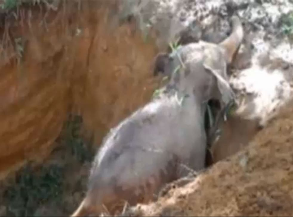 The elephant was believed to have been trapped for 24 hours