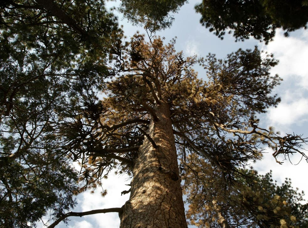 Older, larger trees are declining because of disease