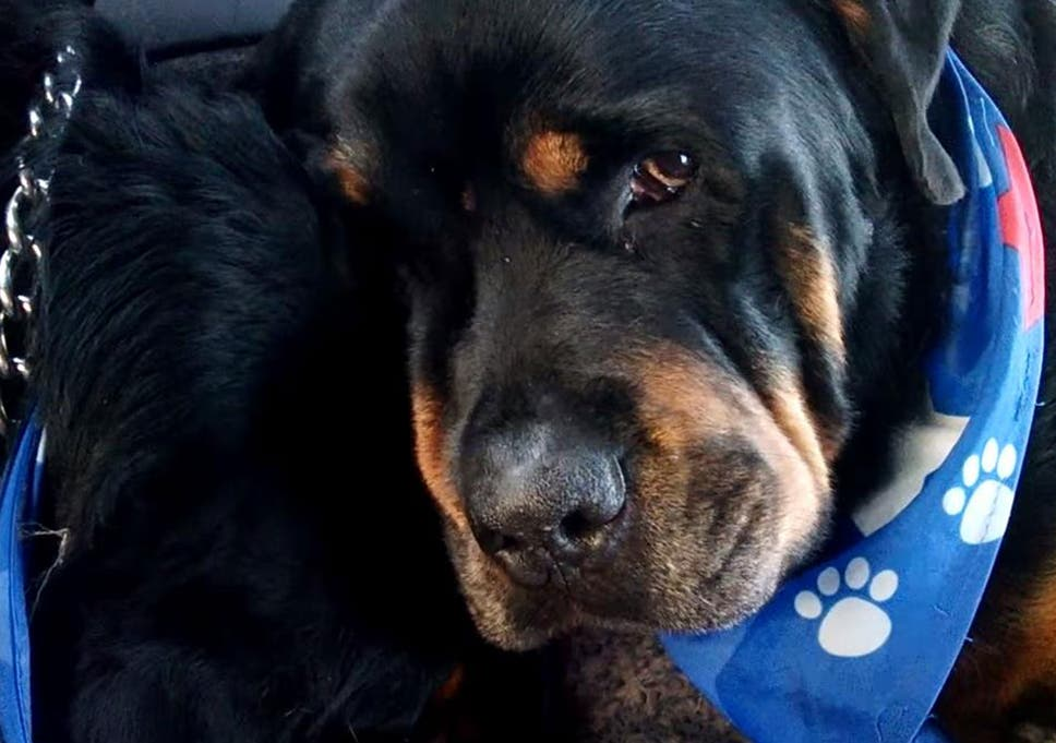Video Shows Rottweiler Crying And Grieving Over Its Dead Twin