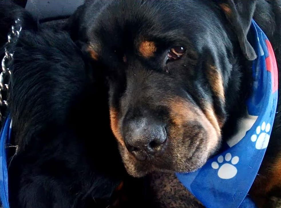 The owner of the Rottweiler claimed he was 'grieving' over his dead brother's body