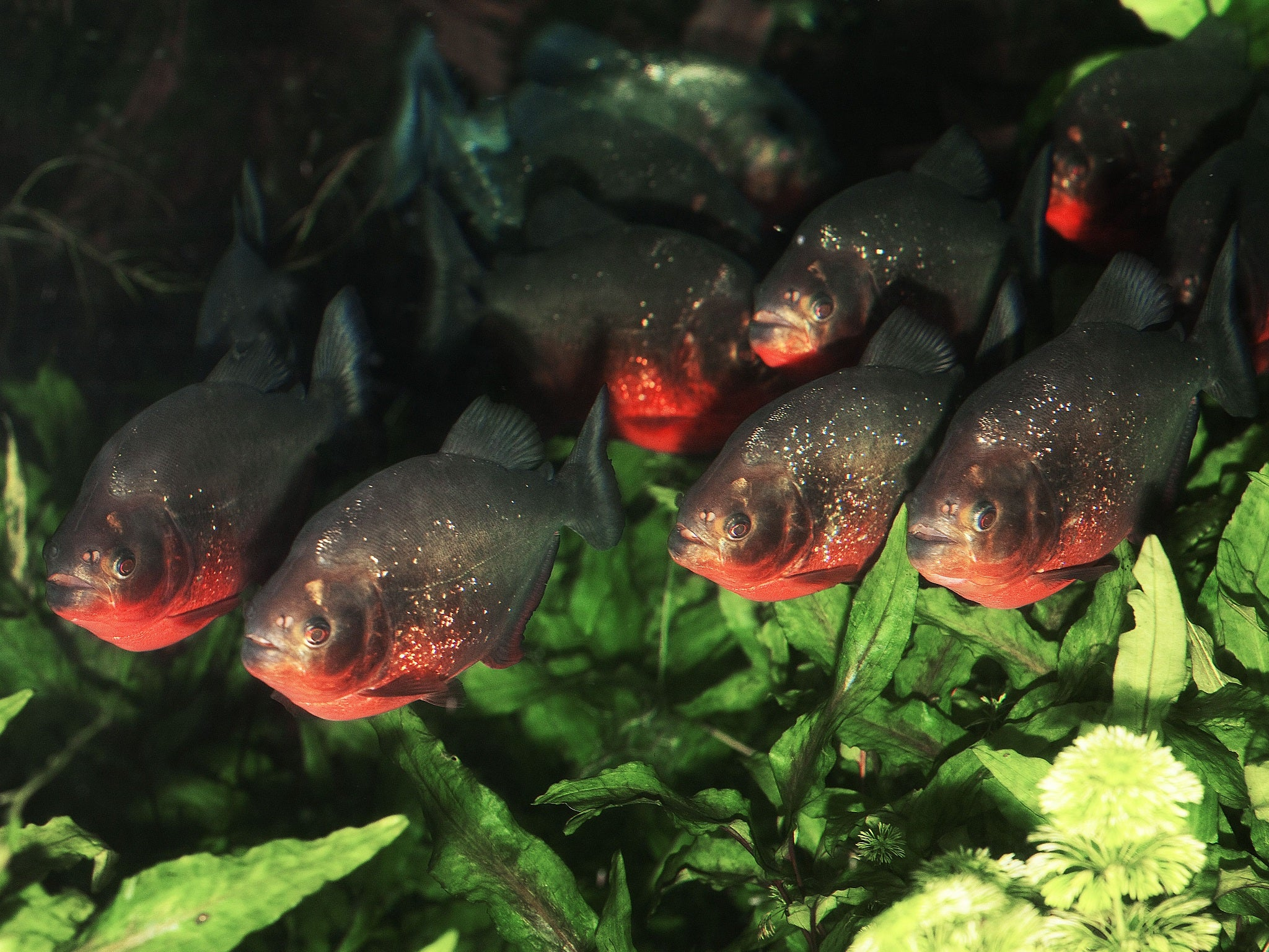 Girl 6 dies after piranhas eat her legs when canoe for Pictures of piranha fish