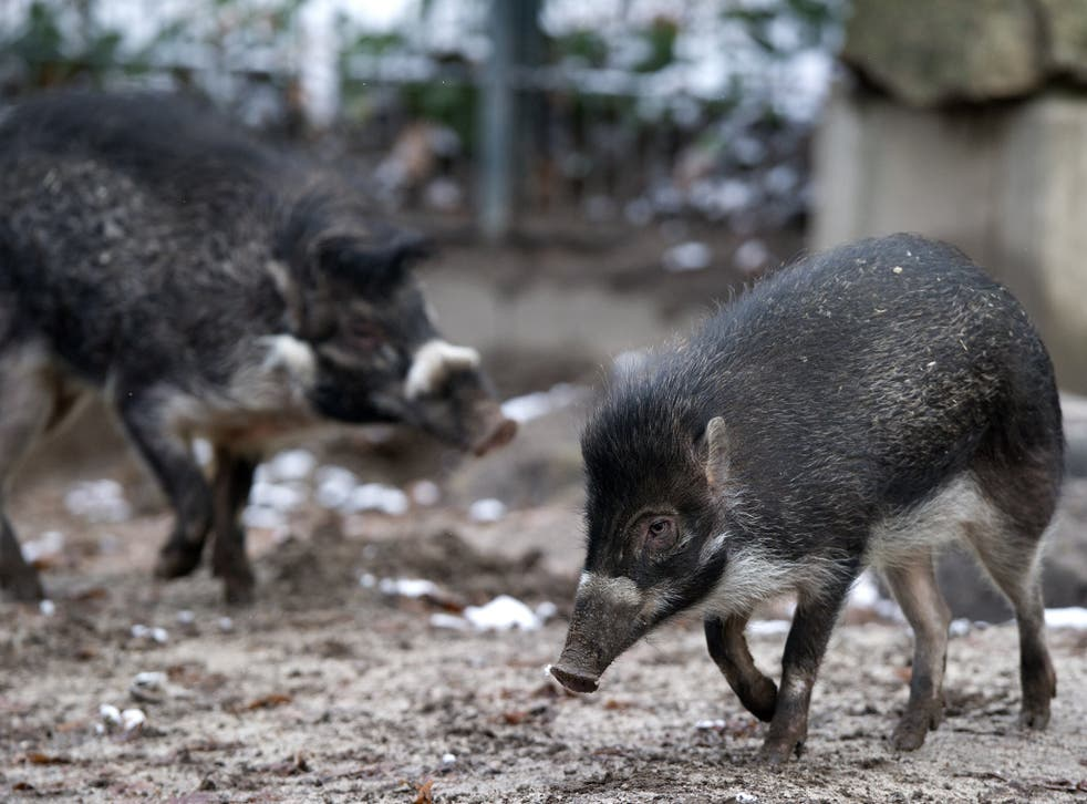 Revelations reveal that an entire litter of critically endangered Visayan warty pigs were eaten by their father the day they were born at Bristol Zoo. The mother, 'Manilla', had to be euthanised after being attacked by the male warty pig 'Elvis'