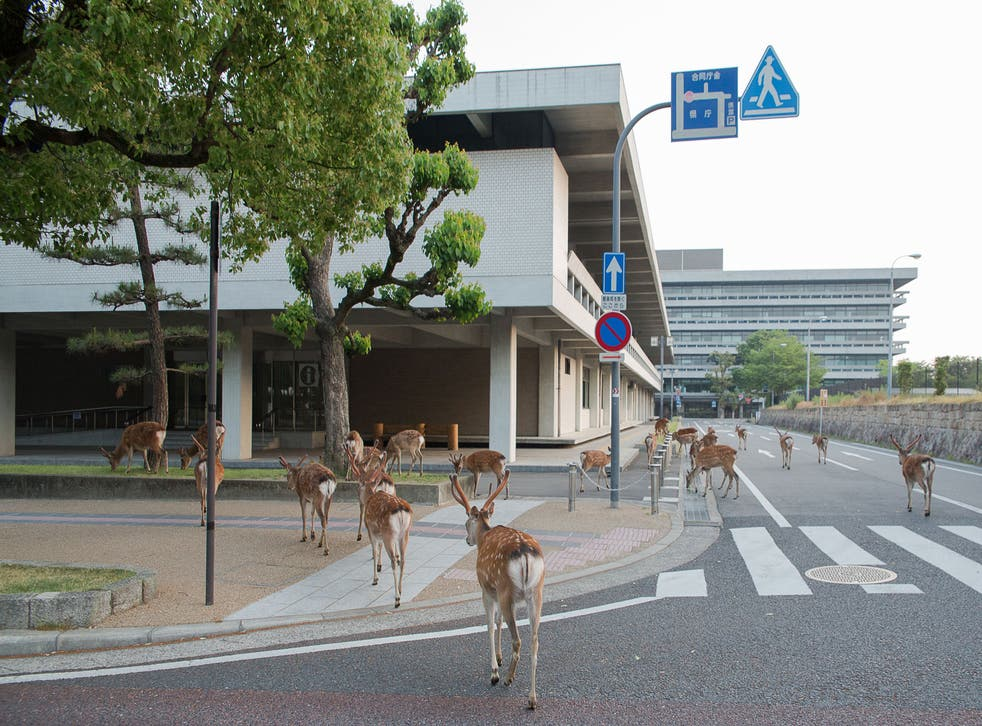 Deer are allowed to roam free around the city of Nara, thanks to a divine myth that means they are considered sacred