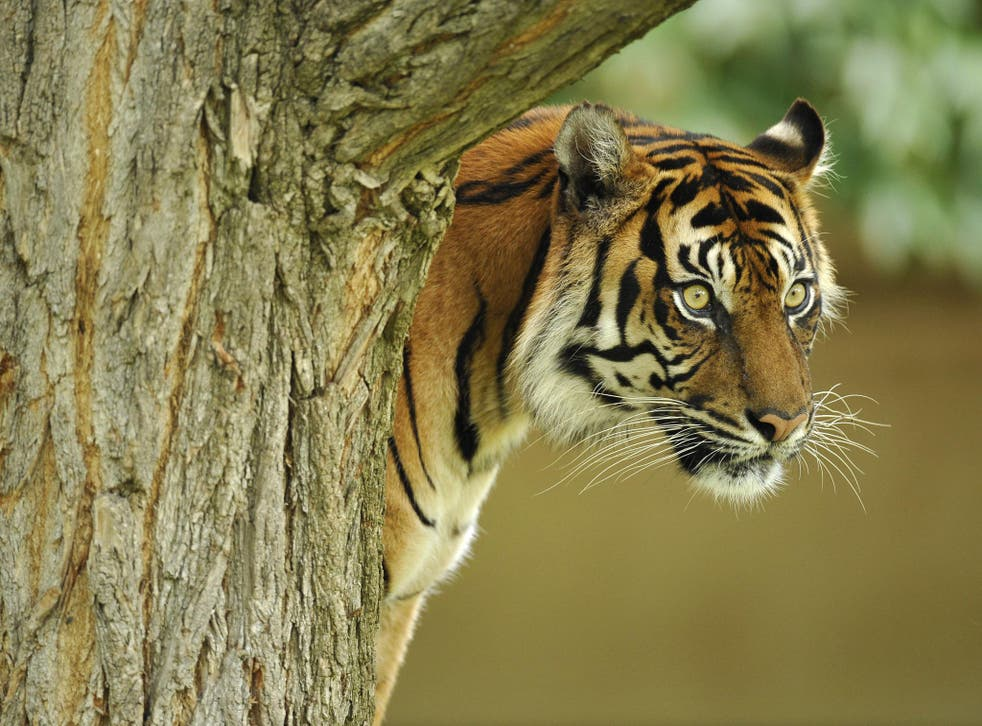 Last refuge: about a third of the world's tigers – there are less than 4,000 left – now live in protected sites