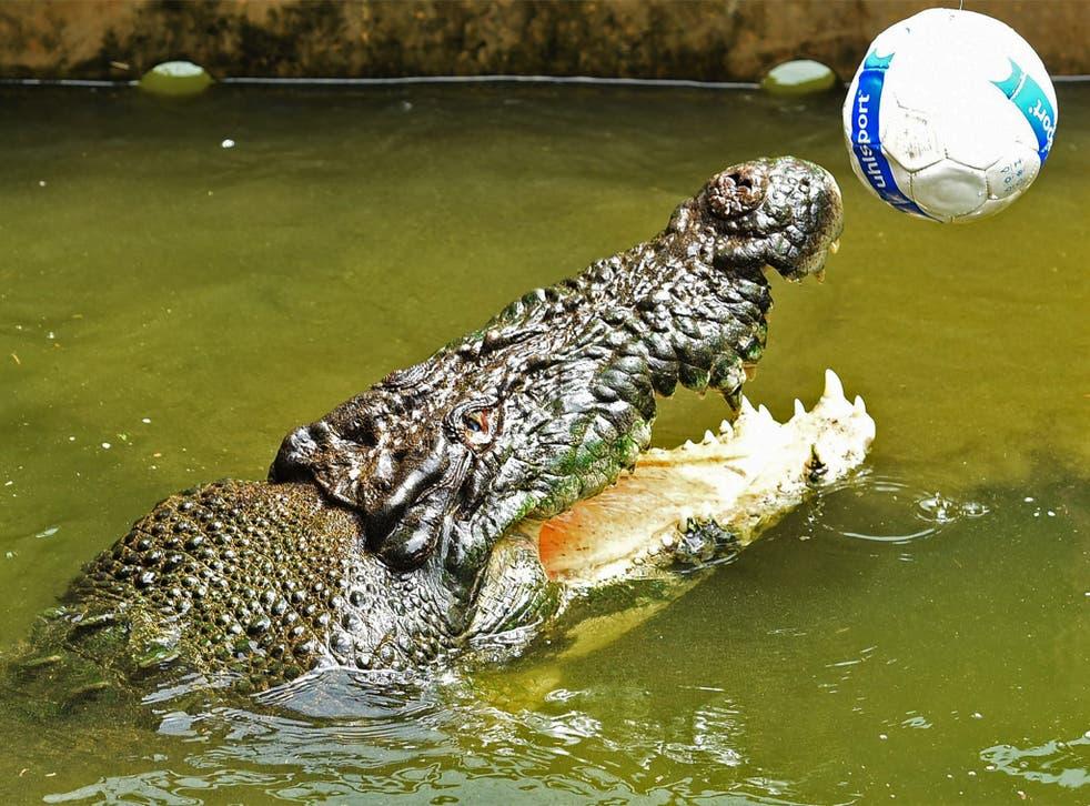 Crocodiles like to play with objects like balls