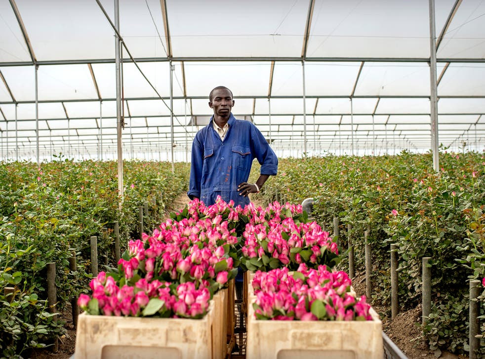 A man farms roses in Kenya