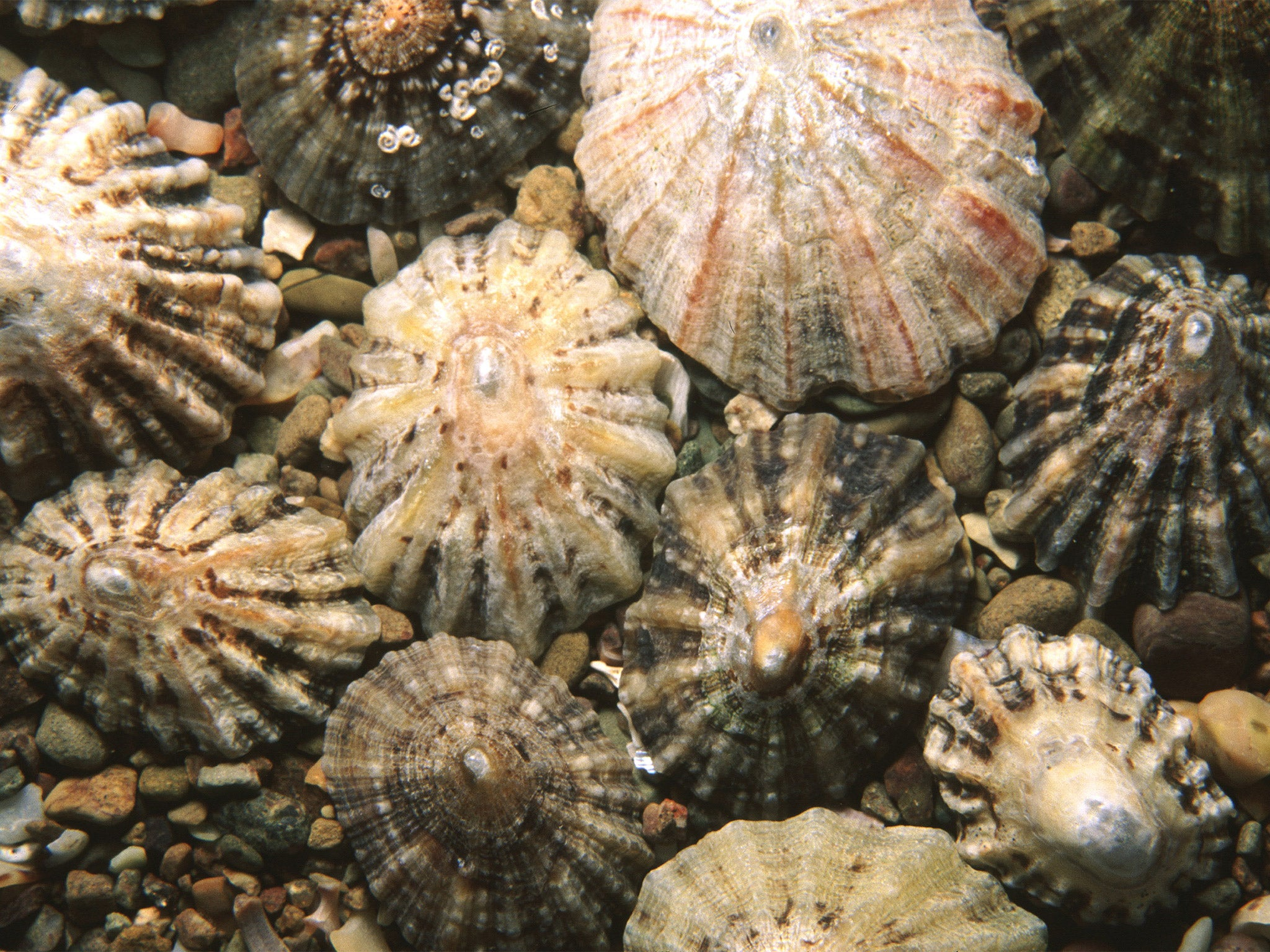Limpet teeth are the strongest biological material known to man