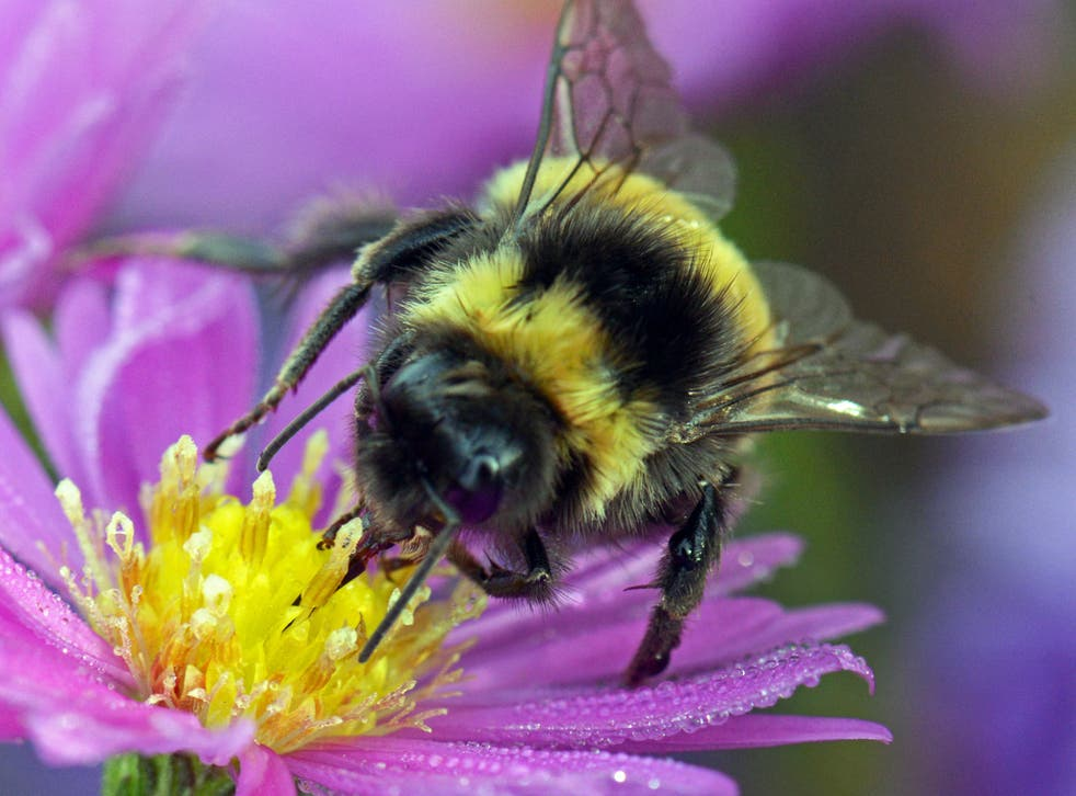 There are around 250 species of bumblebee in the world